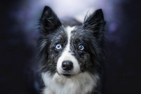 Обои Собака породы бордер-колли смотрит в камеру
