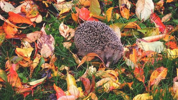 Обои Ежик в траве с осенней листвой