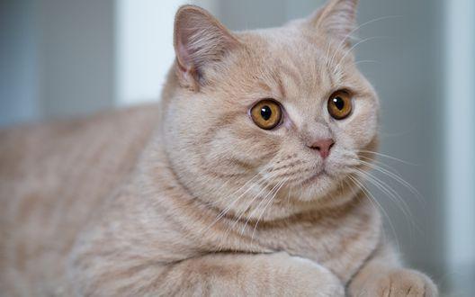 Обои Британская короткошерстная кошка с карими глазами