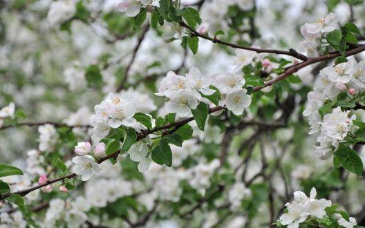 Обои Цветущие ветки яблони