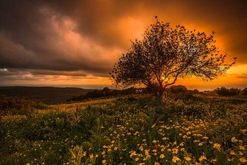 Обои Одинокое поле на цветочном поле на закате, фотограф Europe Trotter