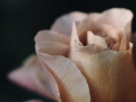 Обои Персиковая роза на размытом фоне, фотограф Kito K - fxkito2