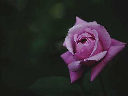 Обои Сиреневая роза на размытом фоне, фотограф Kito K - fxkito2