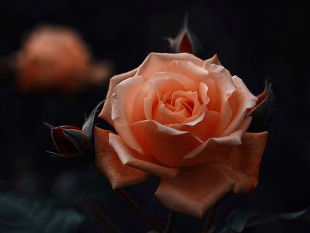 Обои Оранжевая роза с бутонами на размытом фоне, фотограф Kito K - fxkito2