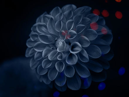 Обои Голубая георгина на размытом фоне, фотограф Kito K - fxkito2
