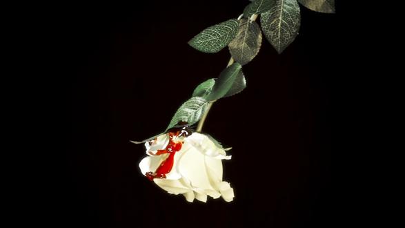 Обои С белой розы стекает кровь, на черном фоне