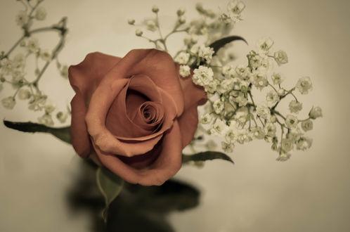 Обои Чайная роза и белые цветочки в сепии