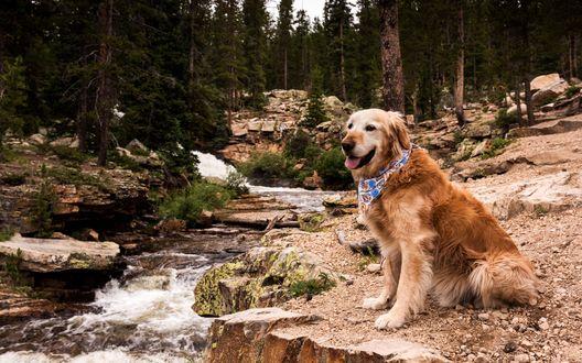 Обои Золотистый ретривер с платком на шее сидит у ручья в лесу