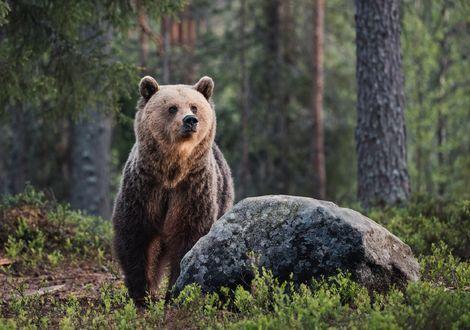 Обои Медведь в лесу стоит у камня, фотограф Алексей Сулоев