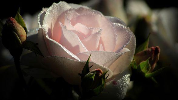 Обои Нежно-розовая роза в каплях воды с бутонами крупным планом на размытом темном фоне