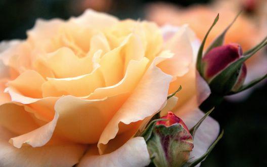 Обои Нежно-оранжевая роза с бутонами крупным планом на размытом темном фоне