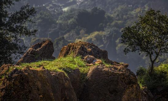 Обои Спящая рысь в красивом природном парке Cabarcenos / Кабарценоса, фотограф Carlos Santero