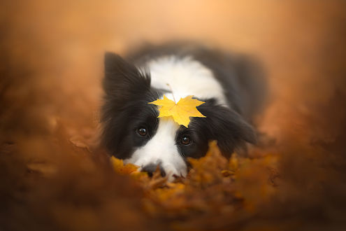 Обои Собака породы Бордер-колли с осенним листом на голове, фотограф Alicja ZmysЕ'owska