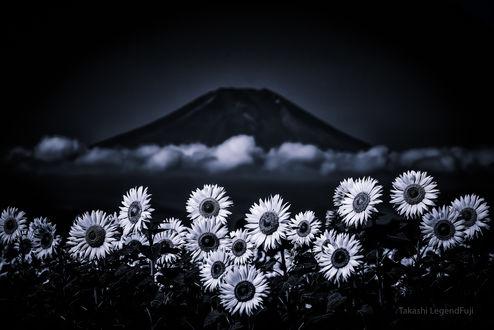 Обои Подсолнухи и облако перед горой Фудзияма. Фотограф Takashi