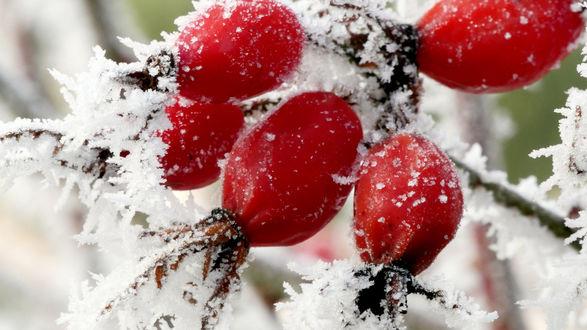 Обои Шиповник в снегу, фотограф Holger Reinert