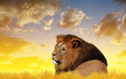 Обои Лев лежит в траве на фоне облачного неба