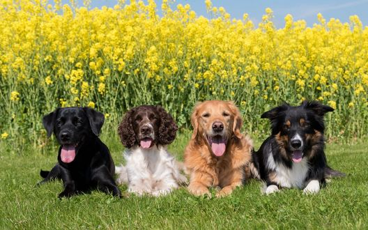 Обои Лабрадор, спаниель, золотистый ретривер и бордер-колли лежат на траве у поля с рапсом