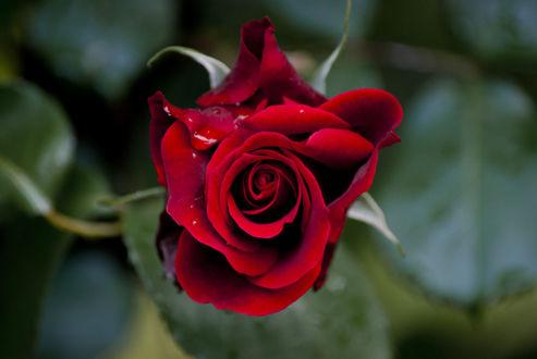 Обои Красная роза с каплей росы, фотограф Javier Rivera Remis