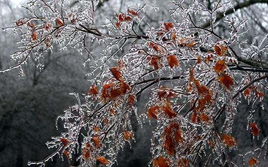 Обои Замерзшие желтые листья на дереве поздней осенью