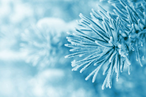 Обои Еловая ветка в снегу