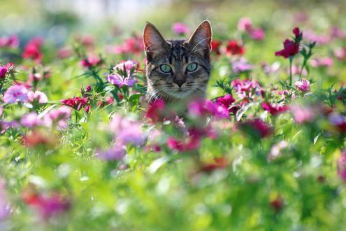 Обои Серая кошка сидит в цветах