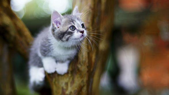 Обои Голубоглазый серый котенок сидит на дереве