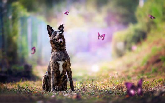 Обои Собака сидит на траве и смотрит на сиреневых бабочек