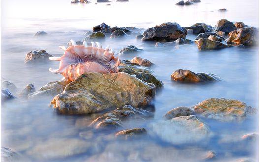 Обои Морская раковина ламбис лежит на каменистом берегу, фотограф Кондратюк Андрей