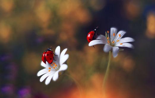 Обои Божьи коровки на цветах, фотограф Elena Andreeva