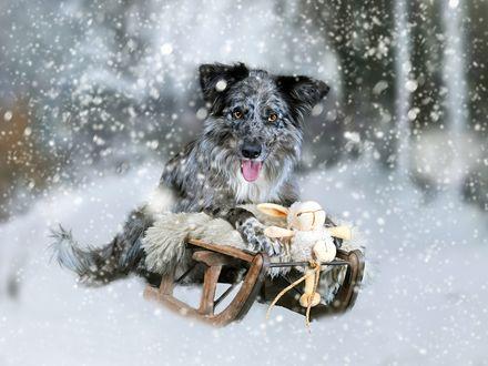 Обои Лохматый пес на санках везет детям игрушки