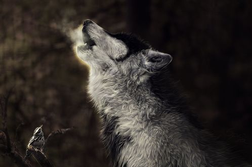 Обои Одинокий волк тоскливо воет на луну, рядом на ветке сидит маленькая пичуга