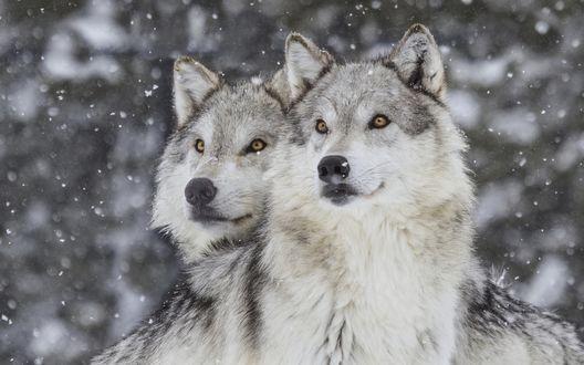 Обои Волки под падающим снегом
