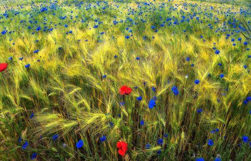 Обои Пшенично-васильковое поле с из редко попадающимися маком