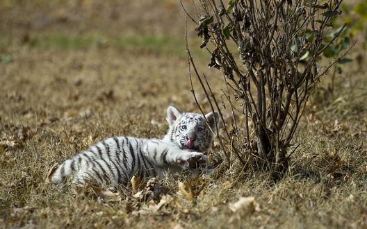 Обои Белый тигренок отдыхает на траве