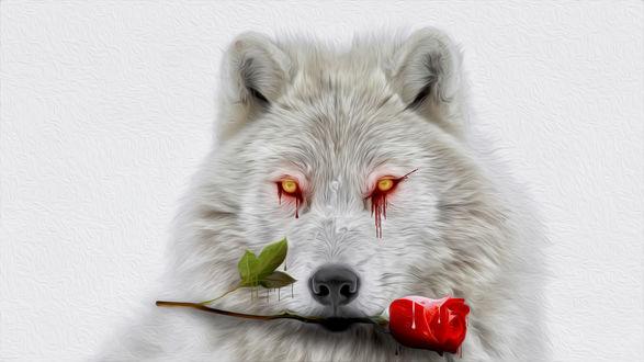 Обои Белый волк с красной розой и кровавыми глазами, фотоманипуляции by 0l-Fox-l0