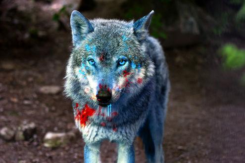 Обои Волк в голубой и красной краске, by 0l-Fox-l0