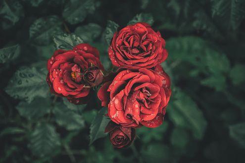 Обои Красные розы в каплях воды