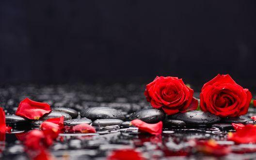 Обои Красные розы и лепестки лежат на мокрых камешках
