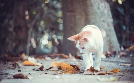Обои Кошка смотрит на осенние листья