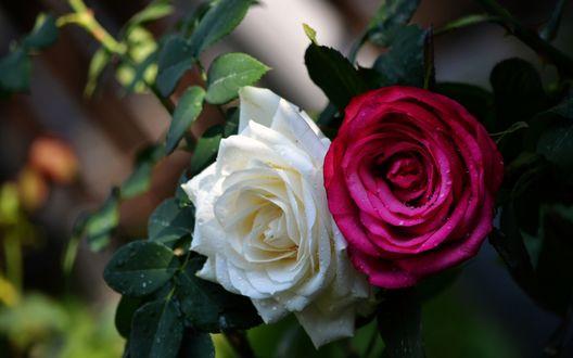 Обои Бутон белой и малиновой розы в капельках воды
