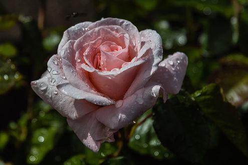 Обои Розовая роза в каплях воды, фотограф Graeme Scott