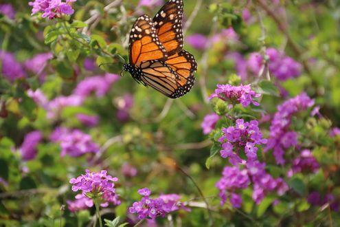 Обои Бабочка над сиреневыми цветами, фотограф Michele W