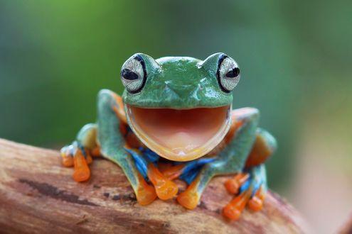 Обои Лягушка с оранжевыми пальцами сидит на дереве