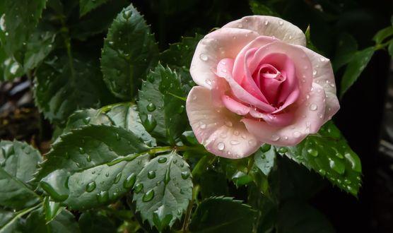 Обои Розовая роза в каплях воды