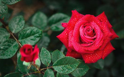 Обои Алая роза и бутон в каплях воды