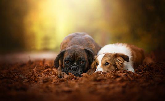 Обои Собаки породы боксер и бордер колли лежат в осенних листьях