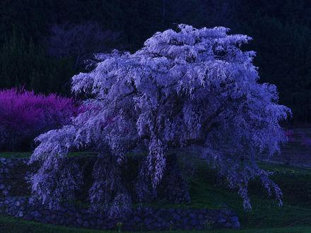 Обои Цветущее весеннее дерево у воды