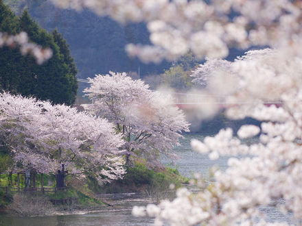 Обои Цветущие весенние деревья