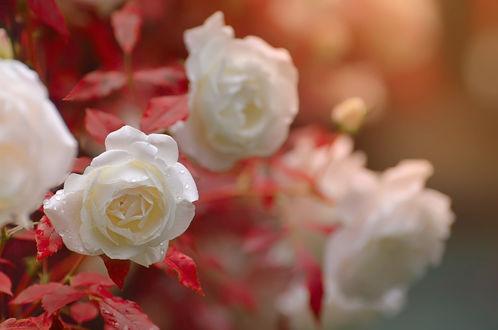 Обои Белые розы в каплях росы, фотограф Katrin Suroleiska