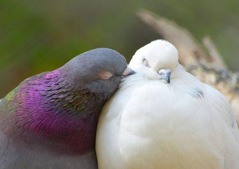 Обои Два влюбленных голубя, фотограф Katrin Suroleiska